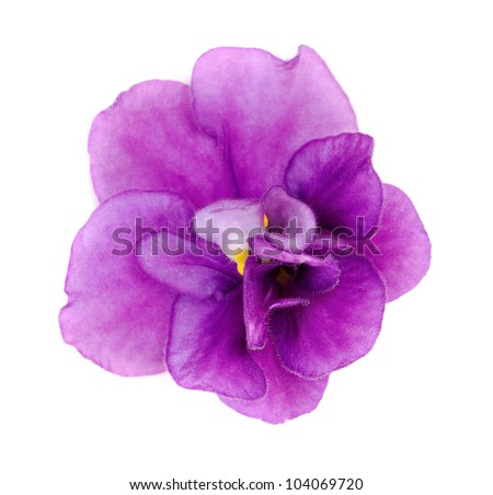 Violet flower closeup on white background - stock photo