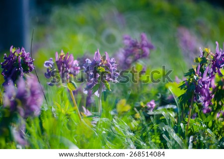 violet flower in Green Summer Grass Meadow Close-Up With Bright Sunlight. Sunny Spring Background - stock photo