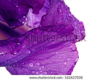 Violet flower. Iris flower. Violet iris. Petals of a violet flower of an iris. Flower in dew drops. Flower petals in dew drops. - stock photo
