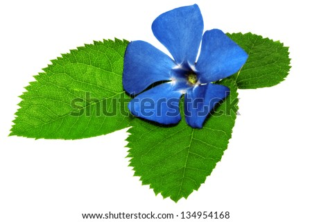 Violet flower on green leaf .Closeup on white background. Isolated . - stock photo