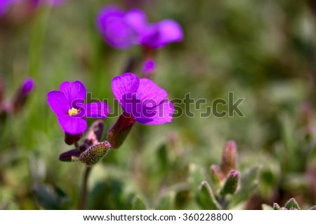 Violet flower on the green background macro - stock photo