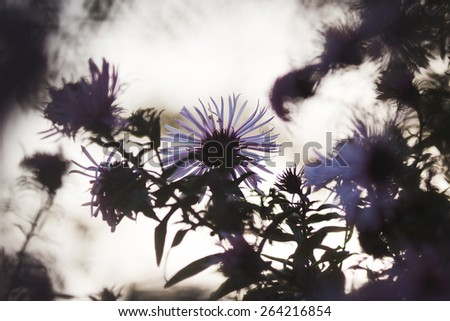 Violet flowers. Autumn garden. Beautiful colors. Natural background. Blur  - stock photo