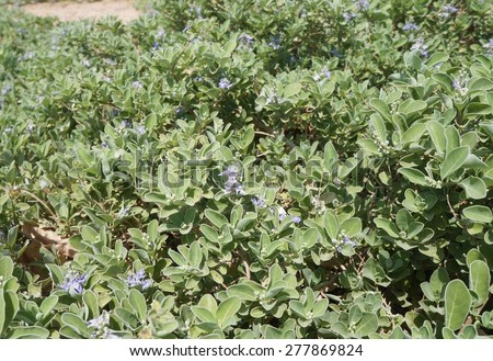 Violet flowers bloom and foliage background, selective focus on the flower in the center - stock photo