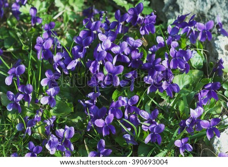 Violet flowers flowerbed in wild meadow Scientific name: Viola odorata  It is also known as Sweet Violet, English Violet, Common Violet, or Garden Violet. - stock photo