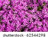 violet flowers for decoration over background - stock photo