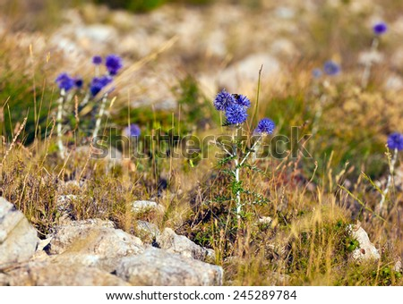 Violet flowers grown on the grey rock. Close-up shoot - stock photo