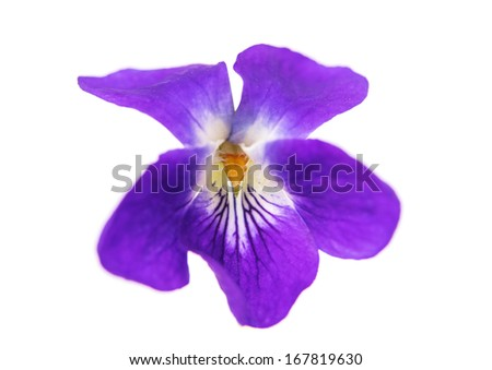 violet flowers isolated on white background - stock photo