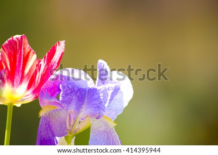 Violet flowers, natural fresh flowers,iris and red tulip,iris flowers in garden ,red tulip in garden,iris flowers on green ,red tulip on green,iris in garden,tulip in garden,floral,garden with flowers - stock photo