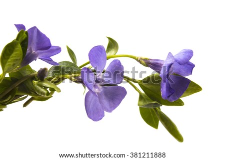 violet flowers of periwinkle close