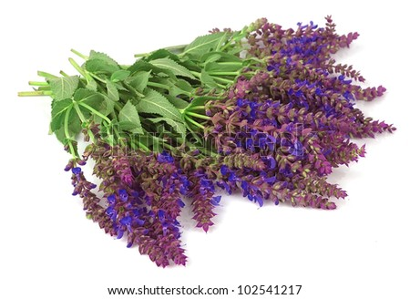 Violet flowers of sage on a white background
