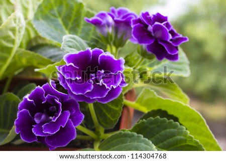 Violet gloxinia in brown pot on the border - stock photo