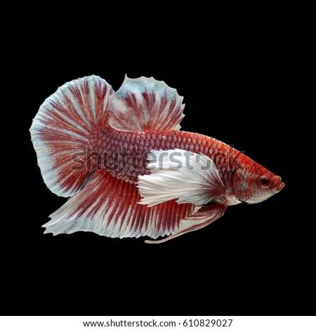 Fish tail fish beautiful - photo#28