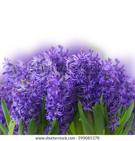 violet hyacinth blooming flowers border close up over  white background