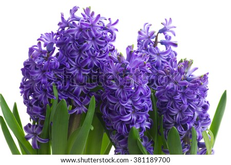 violet hyacinth blooming flowers border isolated on white background - stock photo
