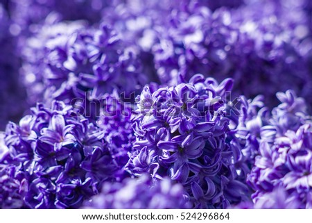 violet hyacinth flowers in Keukenhof, Netherlands