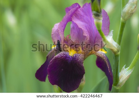 Violet irises blooming in spring