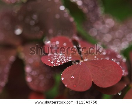 Violet leaves with raindrops - stock photo