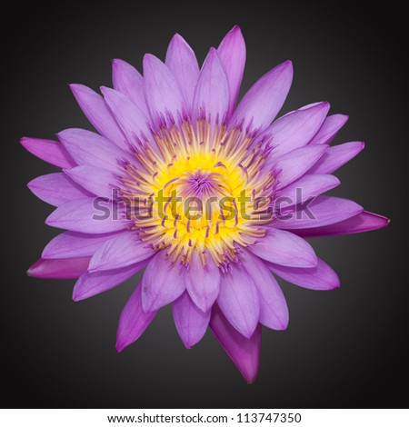 Violet lily isolated on the black background