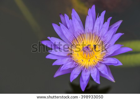 Violet lotus blooming in the pond ,Purple lotus flower