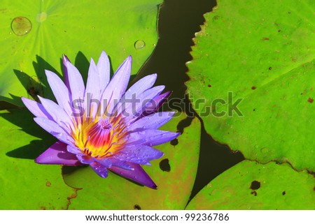 Violet lotus blossoming