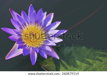 Violet lotus blossoms or water lily flowers blooming on pond - stock photo