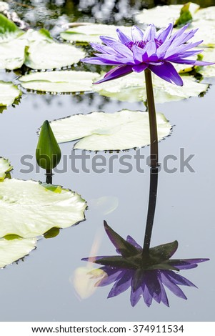 Violet lotus in the pond