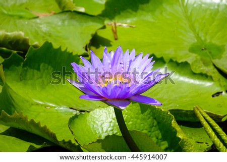 violet lotus in water with blurry green leaf background,close up,select focus with shallow depth of field.