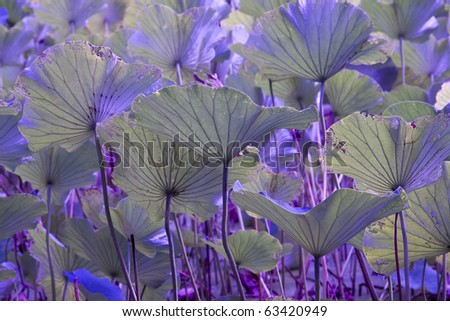 Violet lotus leaves  background - stock photo