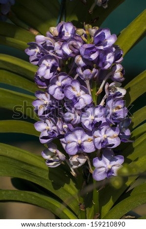 Violet Orchid flowers with dark background, Kolkata, West Bengal, India - stock photo