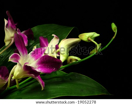 violet orchids in dew drops on black background - stock photo