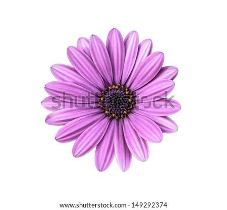 Violet Pink Osteosperumum Flower Daisy - stock photo