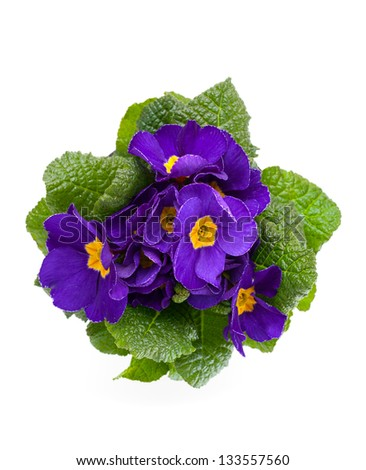 violet primula isolated over white background - stock photo