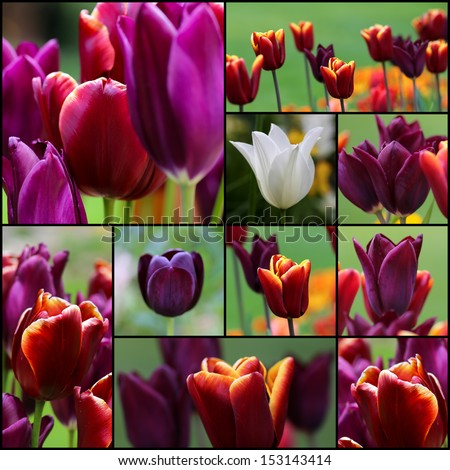 Violet red white tulip flowers set collage collection black frame - stock photo