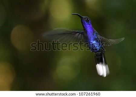 Violet Sabrewing Hummingbird (Campylopterus hemileucurus) at Monteverde Cloud Forest, Costa Rica. - stock photo