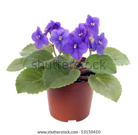 violet saintpaulia - stock photo