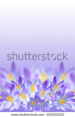 Violet spring crocus flowers on blurred background with copy-space for your text - stock photo