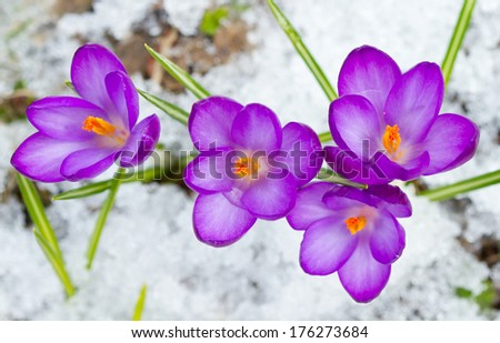 Violet spring crocuses in the snow - stock photo