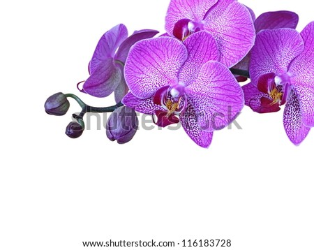 Violet, streaked orchid branch, isolated - stock photo