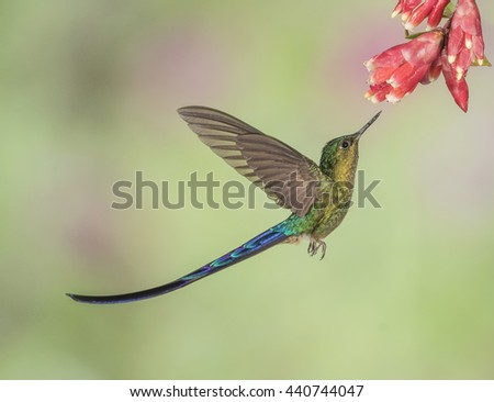 Violet-Tailed Sylph In Flight - A male Violet-tailed Sylph hummingbird is about to extract nectar from a flower.