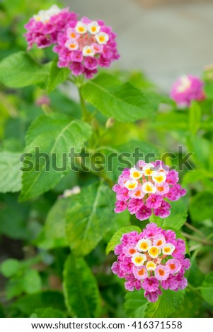 Violet Tickberry / Lantanas flowers in a park
