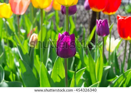 Violet tulip bloom, red beautiful tulips field in spring time with sunlight, floral background, garden scene - stock photo