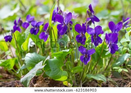 Violet violets flowers bloom spring forest stock photo edit now violet violets flowers bloom in the spring forest viola odorata mightylinksfo