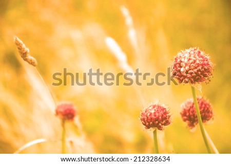 Violet wild flowers and golden spikes in the evening light at the meadow. Toned photo. Selective soft focus on the closest flower. - stock photo