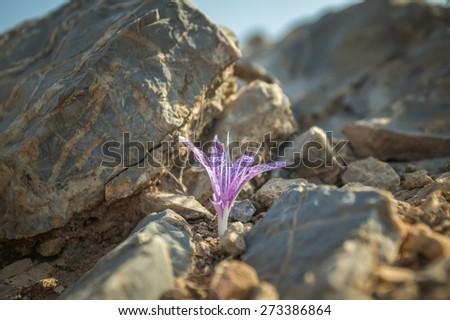 Violet wildflower of Colchicum variegatum in Greek island Kalymnos - stock photo