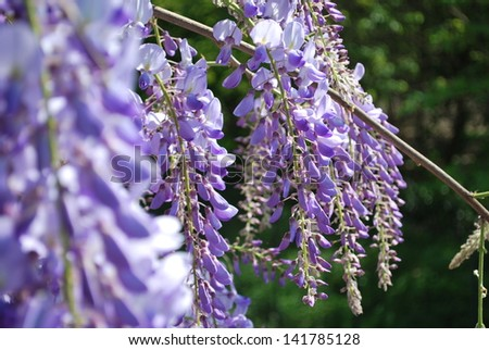 Violet wisteria flowers in a sunny day in spring - stock photo