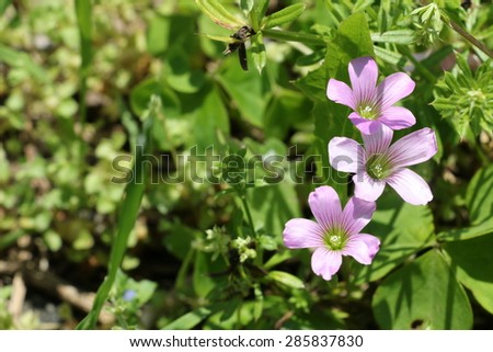 Violet wood-sorrel - stock photo