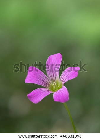 Violet wood-sorrel blooming in the early summer field - stock photo