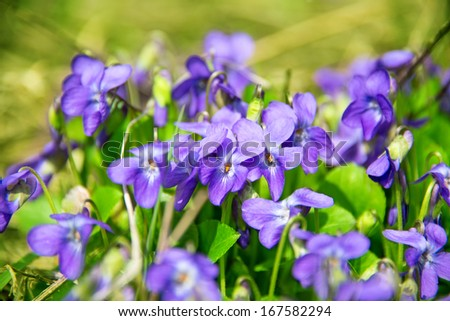 violets flowers blooming in spring meadow - stock photo