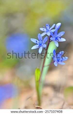 violets flowers blooming on field - stock photo