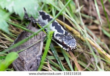 viper in the woods - stock photo